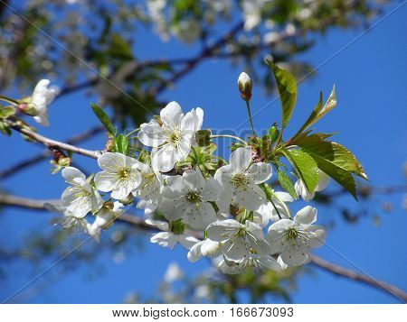The cherry blossoms in spring this stunner. Delicate and fragile flowers fascinate you with their purity
