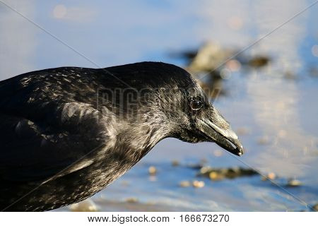 A Carrion crow with full crop about to take a drink