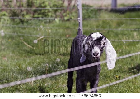 Nubian goat kid inside an enclosed fenced in area. Extreme shallow depth of field with selective focus on goats face.
