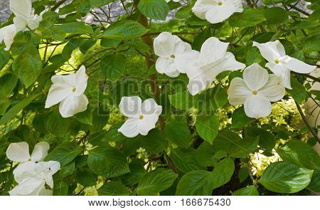 Pacific Dogwood flowers on tree in spring.