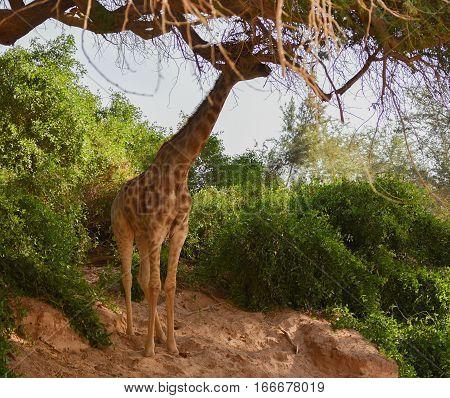 Giraffe in the Etosha National Park in Namibia South Africa