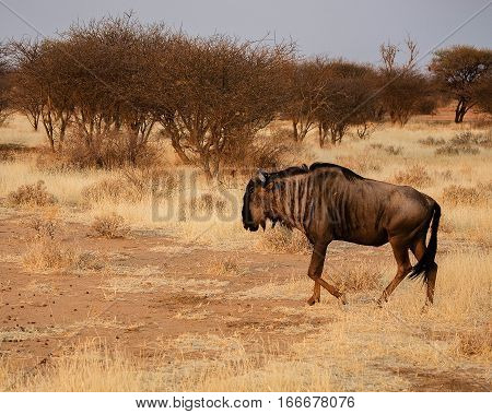 gnu in the Etosha-national park in Namibia South Africa