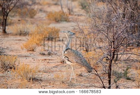 Kori Bustard in the Etosha National Park in Namibia South Africa