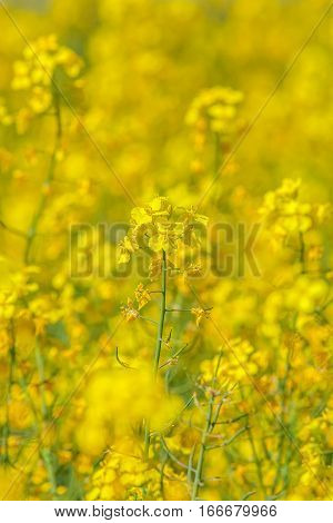 Flowers of the oilseed rape plant as natural background