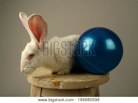 Portrait of a white rabbit with huge ears ant a toy blue ball on a wooden chair on grey background