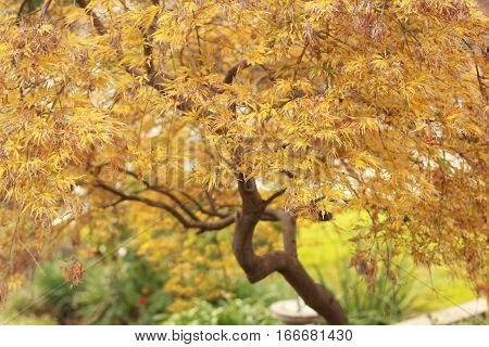 This maple tree is turning color in fall and the branches are somewhat twisted by the wind.