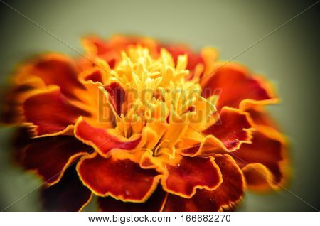 Closeup Of Red Yellow Edge Maidenhair Flower