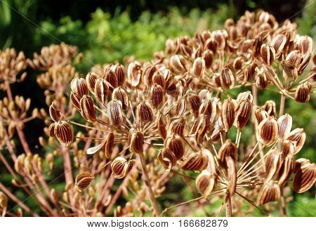 Dry inflorescence of the dill with ripe seeds
