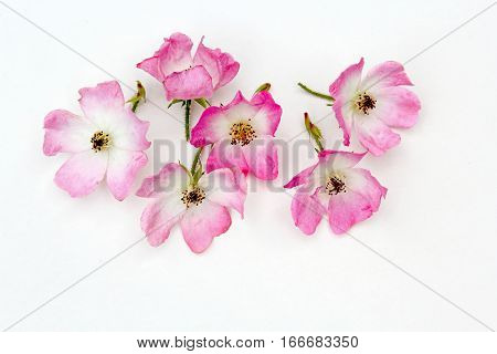 Group of pink rose flowers on white background
