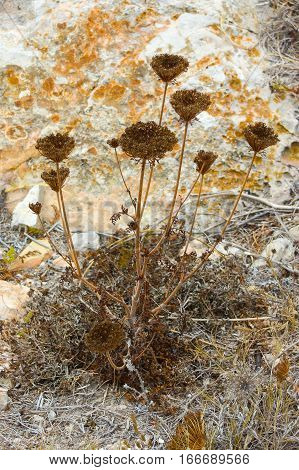 dry grown common yarrow on yellow rocks