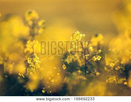 Canola Flowers, Colza. Rapeseed Flowers. Rapeseed Field, Blooming Canola