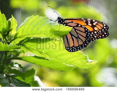 A monarch butterfly has landed on a leaf in the sunlight.