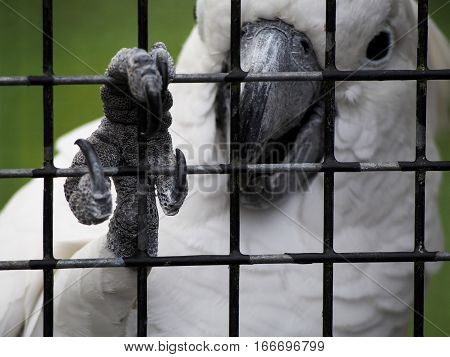 A cockatoo grips the bars of its cage with its claw.
