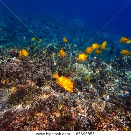 Many yellow tang a type of tropical fish swim around a reef in Hawaii.