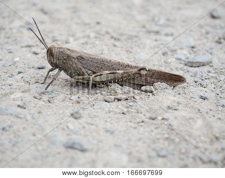 A common brown field grasshopper on rocky dirt.