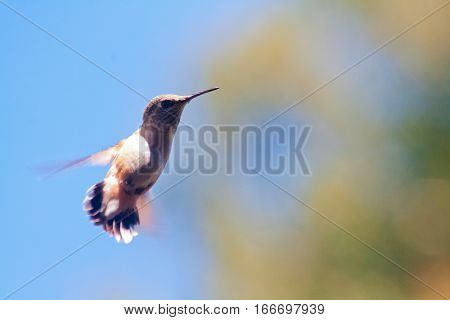 A hummingbird flying through the air with wings moving so fast as to be a blur.