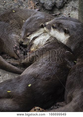 A group of otters snuggle up together for a nap.