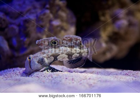A crab-eyed goby fish feeds on the bottom of an aquarium.