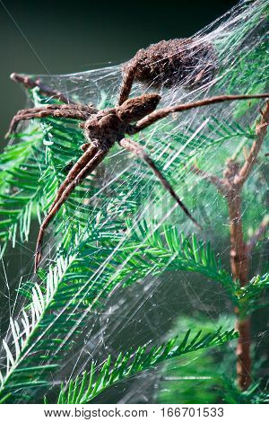 A large female fishing spider with her baby spiders in a web.