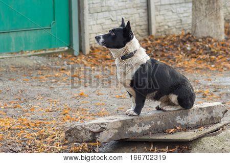 Black stocky mixed breed dog sitting near master's gate