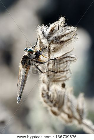 Closeup of the nature of Israel - asilidae on the twig