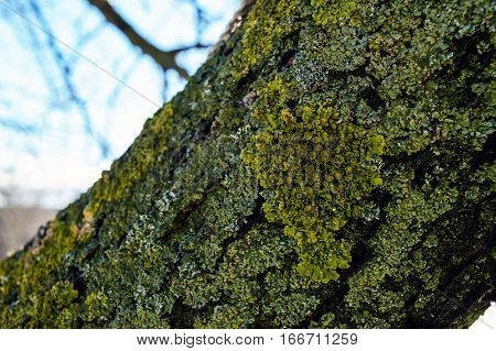 Old tree. On the trunk grows moss and lichen. Close-up.