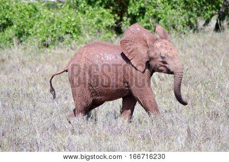 Small elephant strolling through the savanna of Tsavo West Park in Kenya