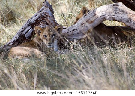 Two cubs lying under a tree in West Tsavo Park in Kenya