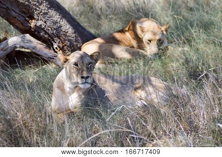 Two lionesses sleeping under a tree in West Tsavo Park in Kenya