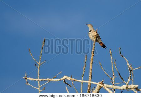 Northern Flicker Perched High in a Tree