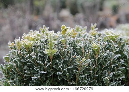 beautiful frost on the bush of green boxwood