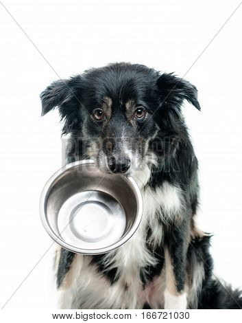 hungry tricolor border collie dog with empty bowl
