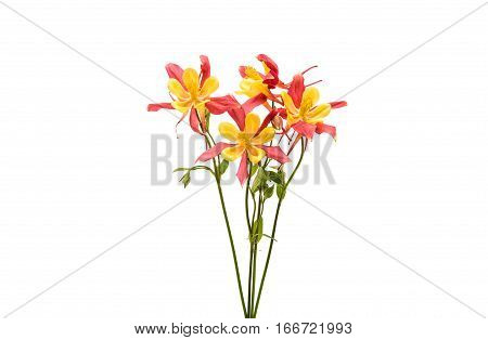 bouquet aquilegia flower isolated on white background
