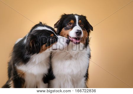 Dogs Breed Australian Shepherd, Aussie,