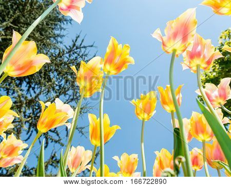Yellow and orange tulips shot from underneath.