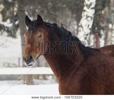 red horse with a black mane stands near a white fence in winter