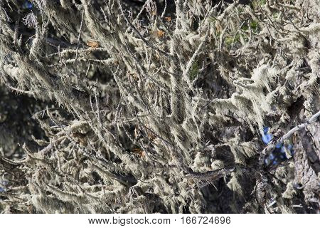 Dry branches of a coniferous tree. Moss and lichen. HDR - High Dynamic Range.