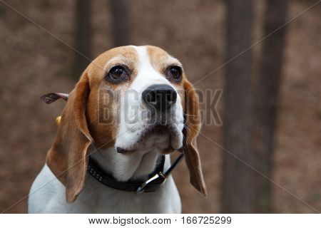 A brown and white dog looking into the distance