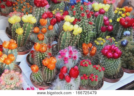 Big mix of beautiful vivid bloomy cactuses