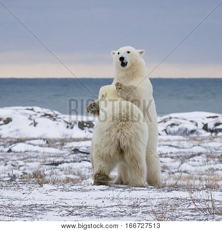 Square image of two polar bears sparring.  Churchill, Manitoba, Canada.