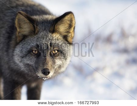 Close up head and shoulders image of a silver fox in the wild.  Autumn in Churchill, Manitoba, Canada.