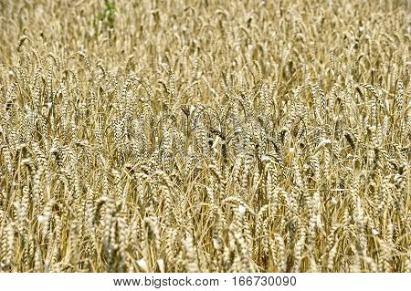 Ears of golden wheat closeup in sunny summer day - abstract background