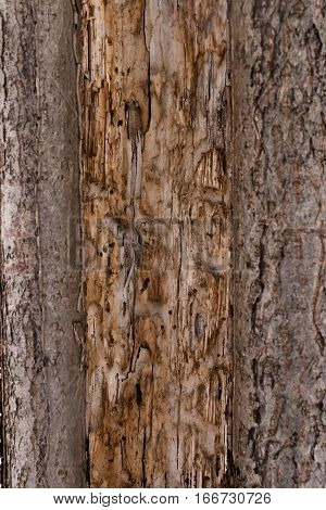 Texture the old tree bark. Picturesque crack. Bark texture.