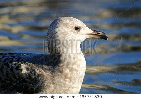 A juvenile Herring gull at the water's edge