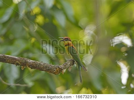 Chestnut-Headed Bee-eater in Chitwan National Park in Nepal