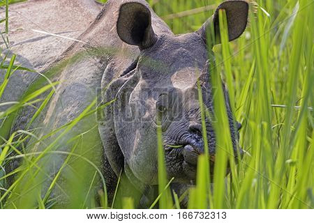 Rhino Peeking through the Grasses in Chitwan National Park in Nepal