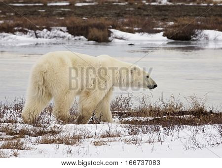 Polar bear walks along the banks of the Hudson Bay.  Late autumn, in Churchill, Manitoba, Canada.