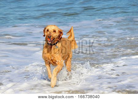A golden doodle dog enjoying a game of fetch at the beach.