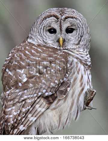 A barred owl in close up perching on a branch.