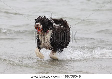 A dog playing a game of fetch with a ball at the ocean.